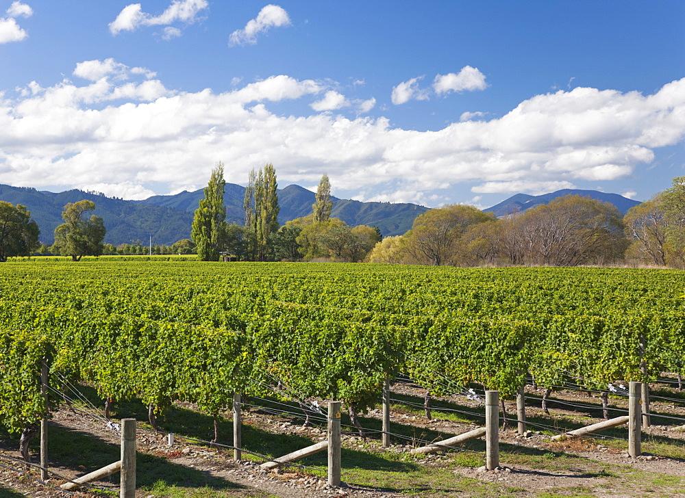 Orderly rows of vines in a typical Wairau Valley vineyard, Renwick, near Blenheim, Marlborough, South Island