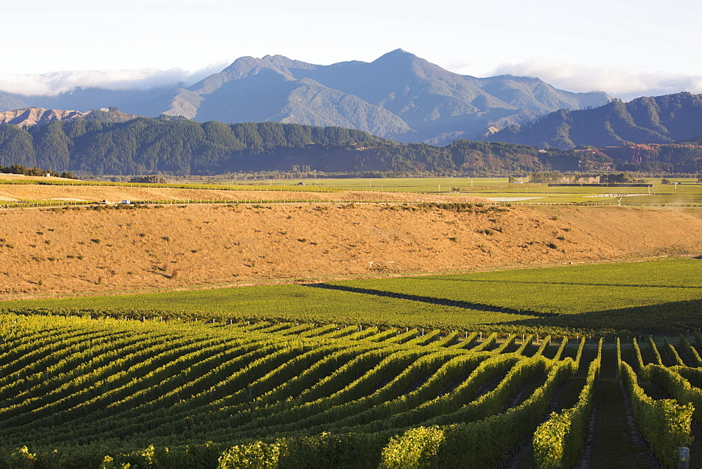 View over typical vineyard in the Wairau Valley, early morning, Renwick, near Blenheim, Marlborough, South Island, New Zealand, Pacific - 390-2973