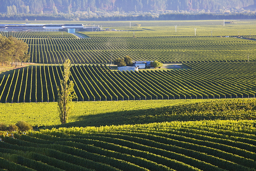 View over typical vineyards in the Wairau Valley, early morning, Renwick, near Blenheim, Marlborough, South Island, New Zealand, Pacific