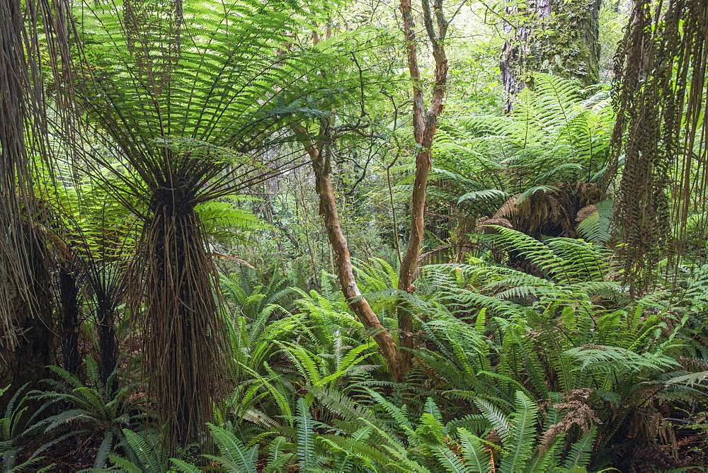 Ferns growing in temperate rainforest, Purakaunui, near Owaka, Catlins Conservation Area, Clutha district, Otago, South Island, New Zealand, Pacific