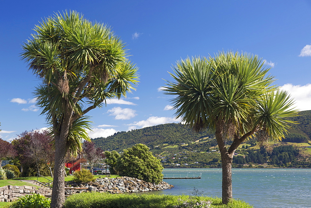 Cabbage trees (Cordyline australis) growing beside Otago Harbour, Macandrew Bay, near Dunedin, Otago, South Island, New Zealand, Pacific