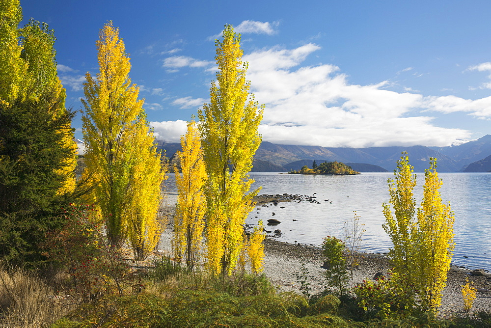 Poplars growing on the shore of Lake Wanaka, autumn, Roys Bay, Wanaka, Queenstown-Lakes district, Otago, South Island, New Zealand, Pacific