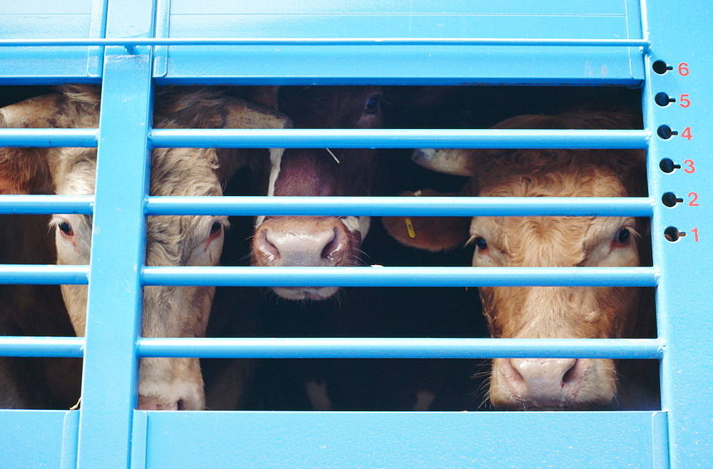 Cattle loaded in truck for market, Andorra