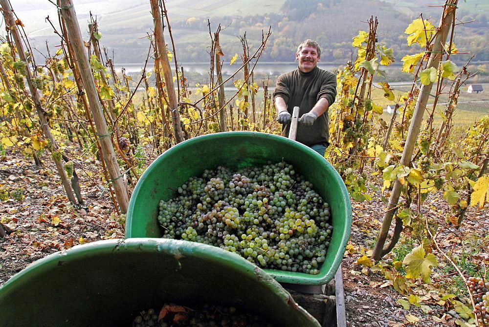 Grape harvest, Saar Valley near Saarburg, Rhineland-Palatinate, Germany, Europe