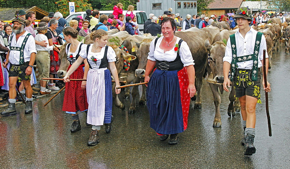Viehscheid, Annual Driving down of the Cattle from the Summer Mountain Pastures to the Valley, Obermaiselstein, Bavaria, Germany