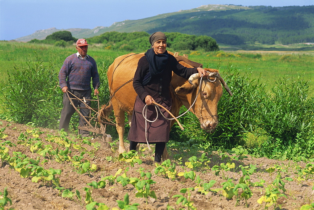 Old couple with a bullock, subsistence farmers, inter-row cultivating in field of bean plants in the Laxe district of Galicia, Spain, Europe