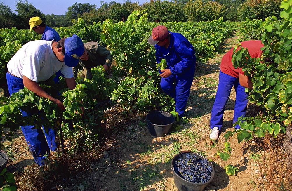 Spanish seasonal workers grape picking, Seguret, Vaucluse region, Provence, France, Europe - 397-2165