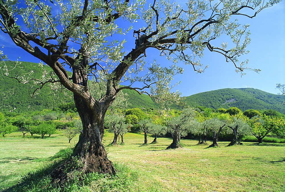 Olive trees in a grove in the Nyons District in the Drome Region of France, Europe