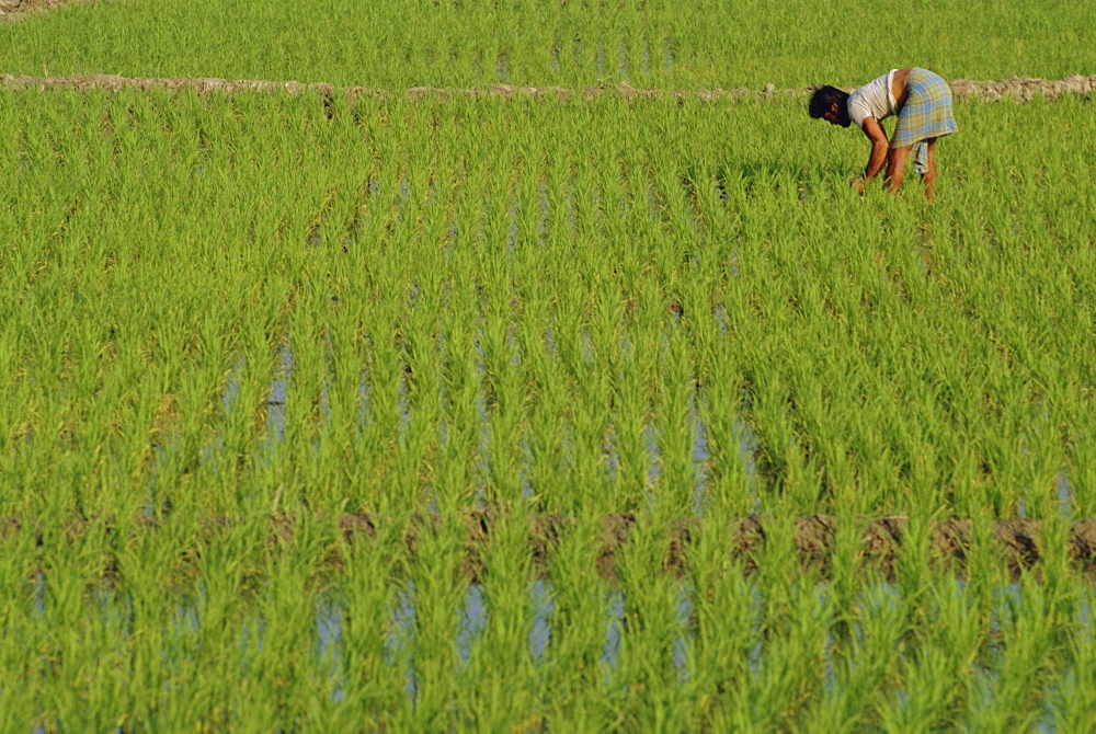 Share-cropper tending rice in paddyfield, Parganas District, West Bengal State, India, Asia