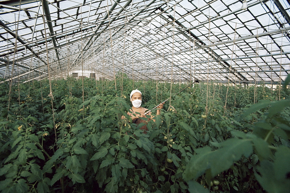 Spraying tomato plants in a hothouse of Pursey Sovchose, a state farm, Bratsk, Siberia, Russia, Europe - 399-2130