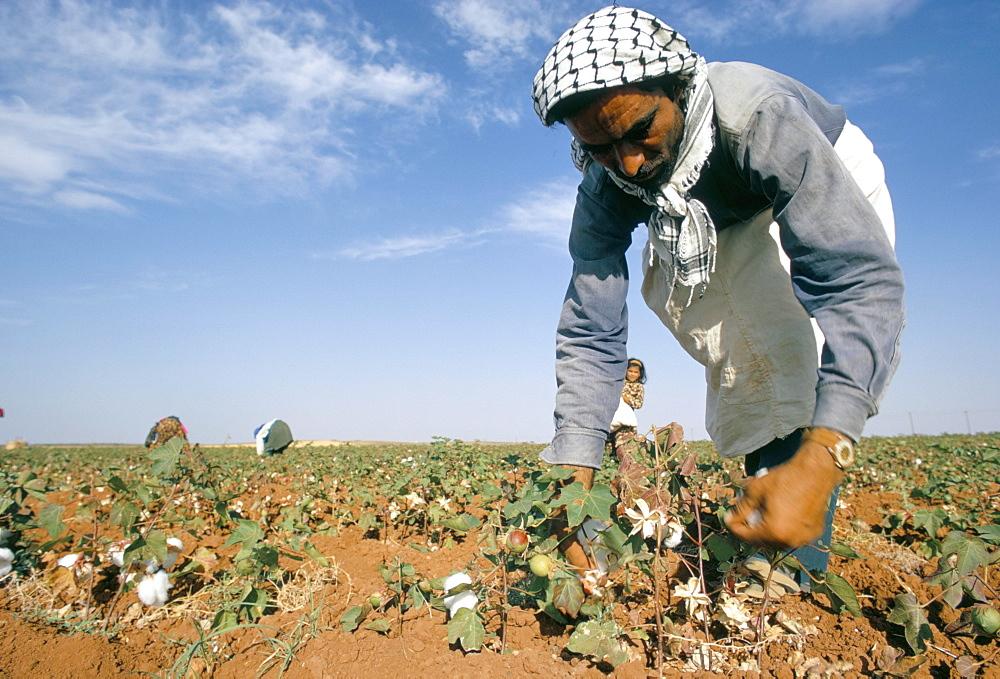 Man picking cotton near Taftanaz, Syria, Middle East