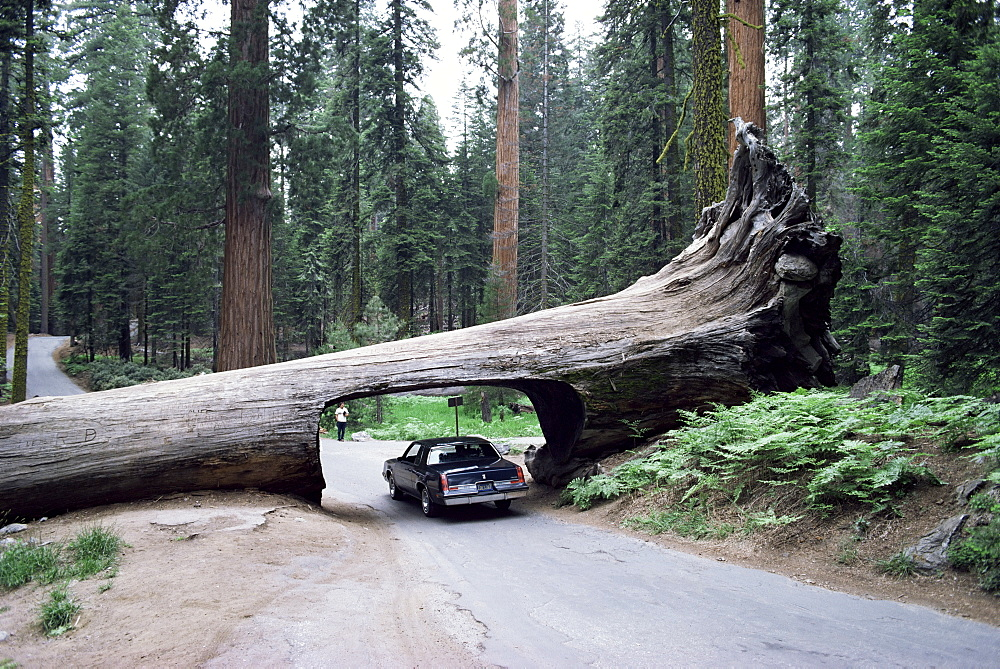 Tunnel Log, 275 ft long, which fell in 1937, Sequoiadendron giganteum, Sequoia National Park, California, United States of America, North America