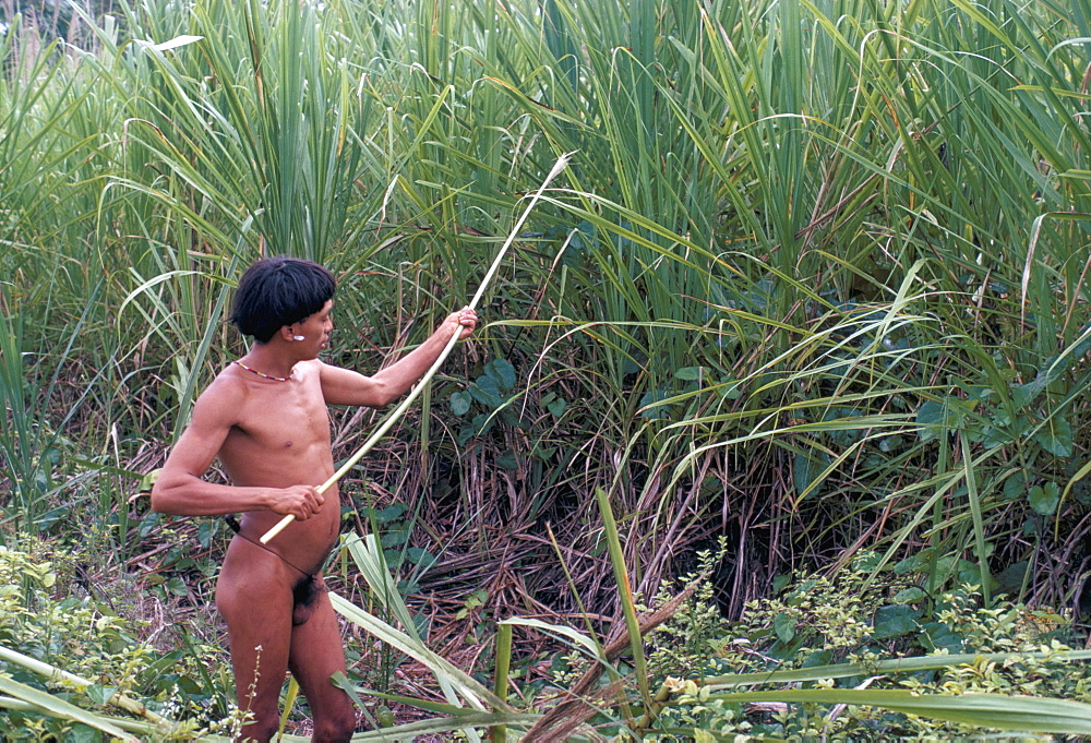 Yanomami Indian collecting reed for arrows, Brazil, South America