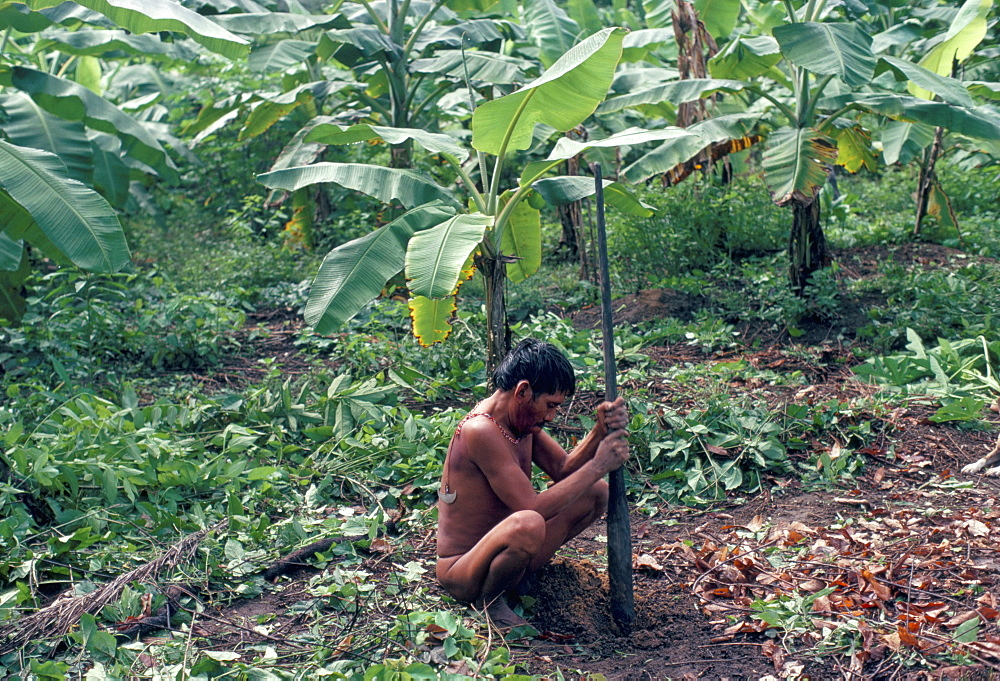 Yanomami man using traditional digging stick, Brazil, South America