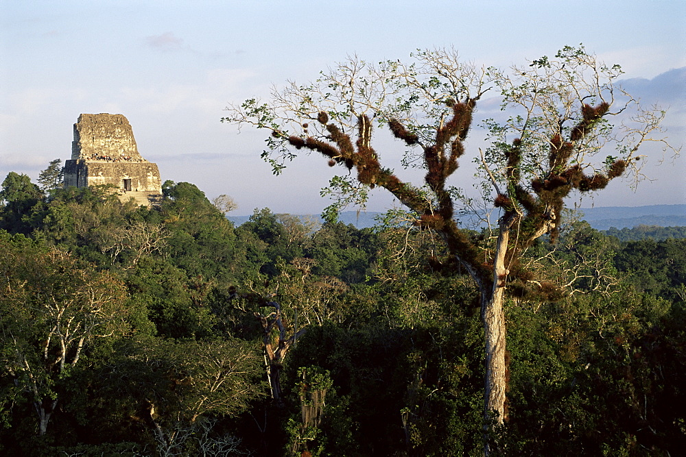 Cedar tree with bromeliades, Temple 4 beyond, Tikal, UNESCO World Heritage Site, Guatemala, Central America