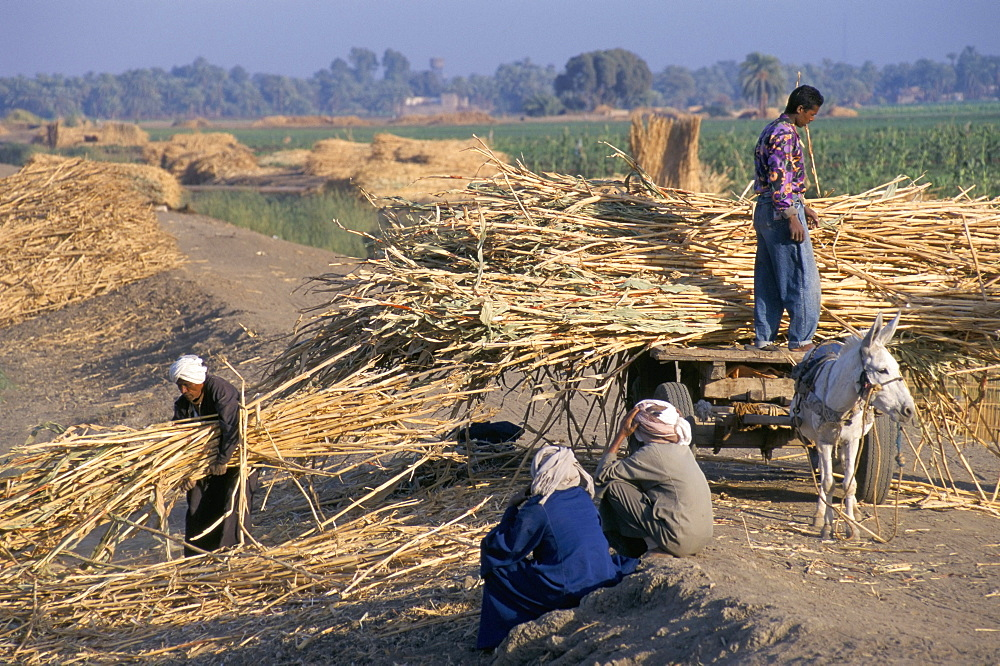 Harvesting sugar cane near Dendera, Middle Egypt, Egypt, North Africa, Africa