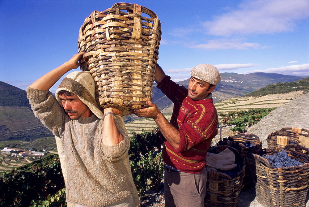 Grape pickers lifting baskets, Quinta do Bomfim, Douro, Portugal, Europe