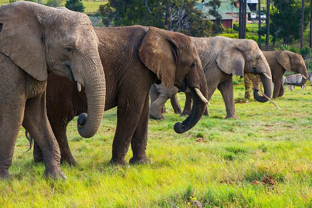 Line-up of four elephants, Kynsna Elephant Park, Knysna, Western Cape, South Africa, Africa - 450-4171