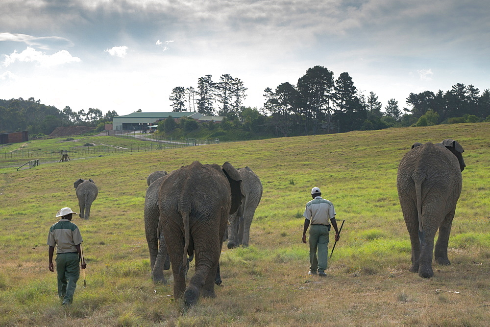 Elephants being led home by keepers in the evening light, at Kynsna Elephant Park, Knysna, South Africa, Africa - 450-4194
