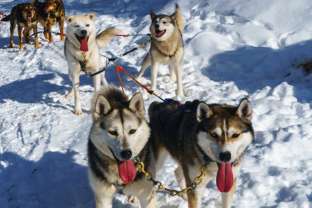 Six husky dog team pauses in the snow after safari, Husky Farm, Torassieppi, Lapland, Northern Finland, Europe