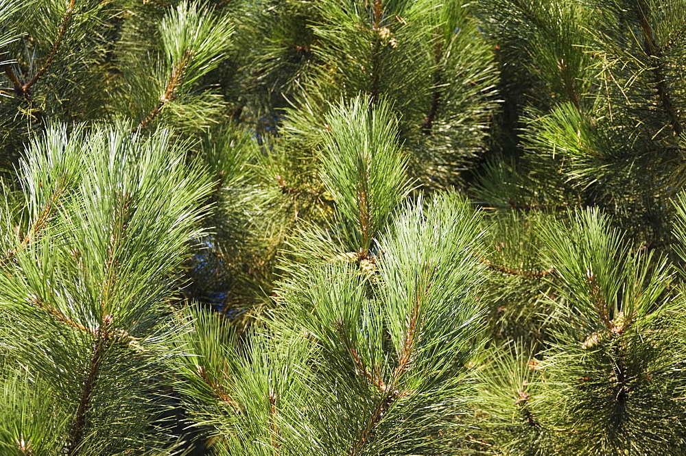 Close up of Scots Pine leaves or needles, Pinus sylvestris
