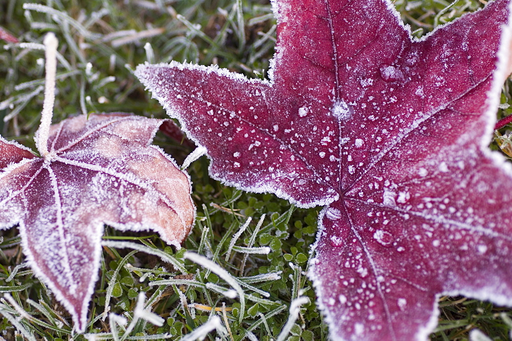 Close up of frost covered maple leaf and grass - 462-1305