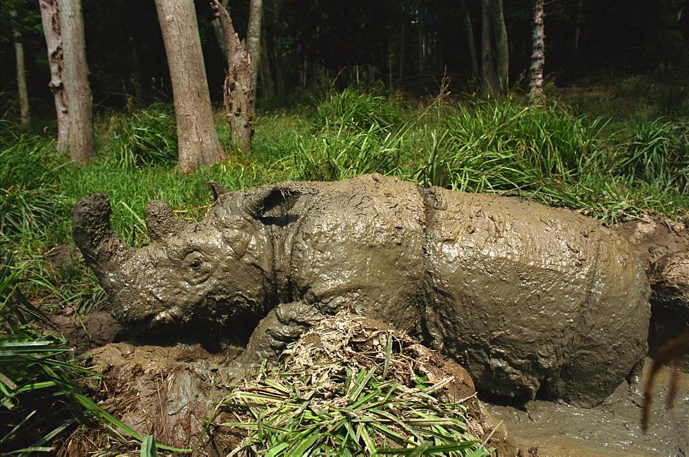 Male Torgamba, hairy rhino (Sumatran rhino), near extinct as only 500 left, in captive breeding programme, Port Lympne Zoo, Kent, England, United Kingdom, Europe