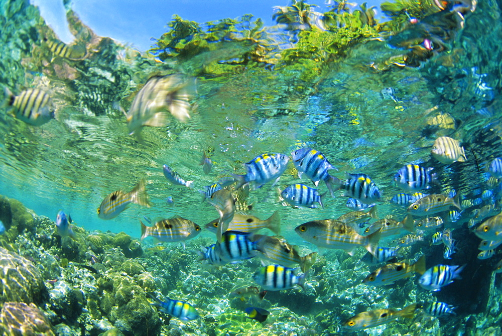 Crowd of tropical reef fish including scissortail sergeants and grunts, Solomon Islands, Pacific Ocean