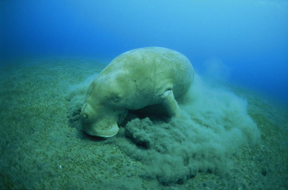 Feeding on sea grass, Endangered Dugong dugon, EPI Dugong, Vanuatu, Pacific Ocean, Pacific
