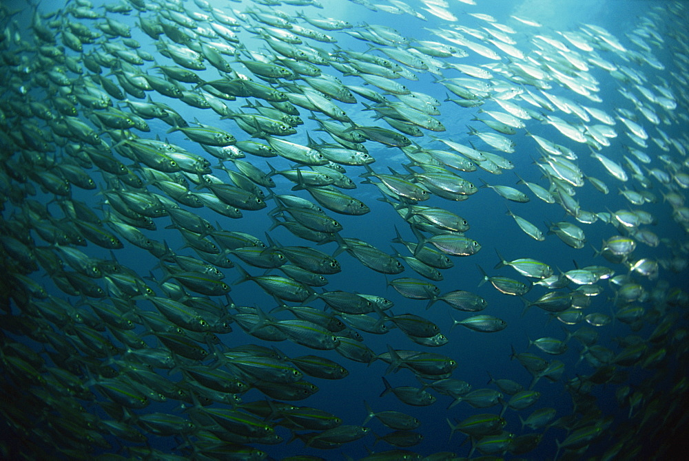 School of smooth tailed trevally near the jetty (Selaroides Leptolepis), Solomon Islands, Pacific Ocean, Pacific