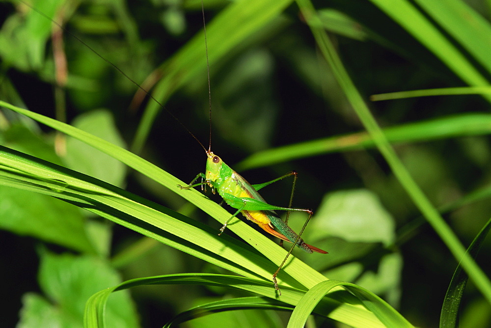 Grasshopper perched on grasses for the night, Sabah Sukau, Malaysia, Borneo, Southeast Asia, Asia