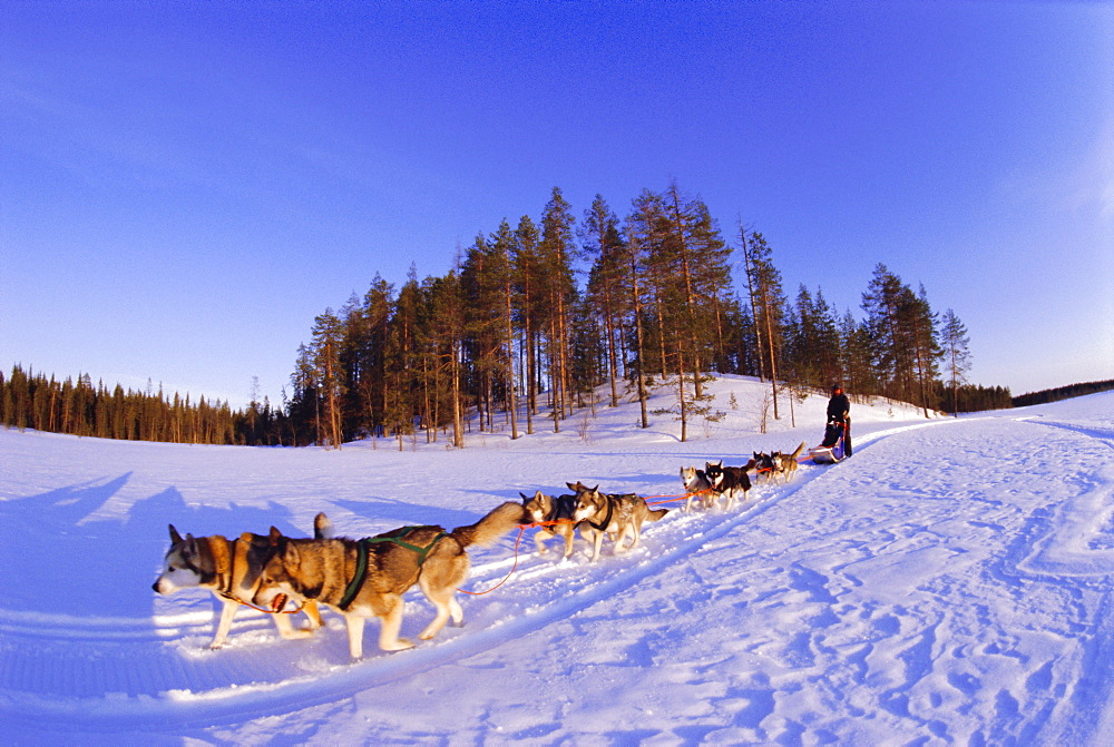 Driving a dogsled with a team of 8 Siberian huskies, Karelia, Finland, Europe