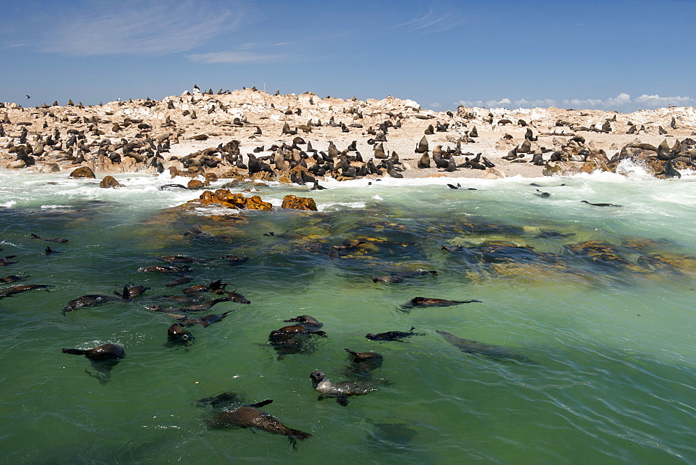 Cape fur seal colony (Arctocephalus pusillus) at Geyser Island, Dyer Island offshore from Klein baai, Western Cape, South Africa, Africa