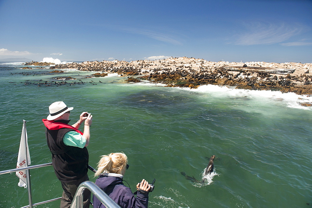 Tourists photographing and filming a fur seal (Arctocephalus pusillus) jumping out of the water, Cape fur seal colony offshore, Gansbaai, Western Cape, South Africa, Africa