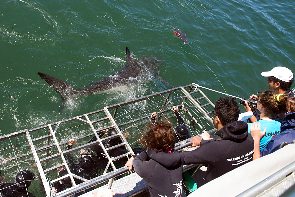 Great white shark swims by cage, great white shark cage diving, Marine Dynamics, Dyer Island, South Africa, Africa
