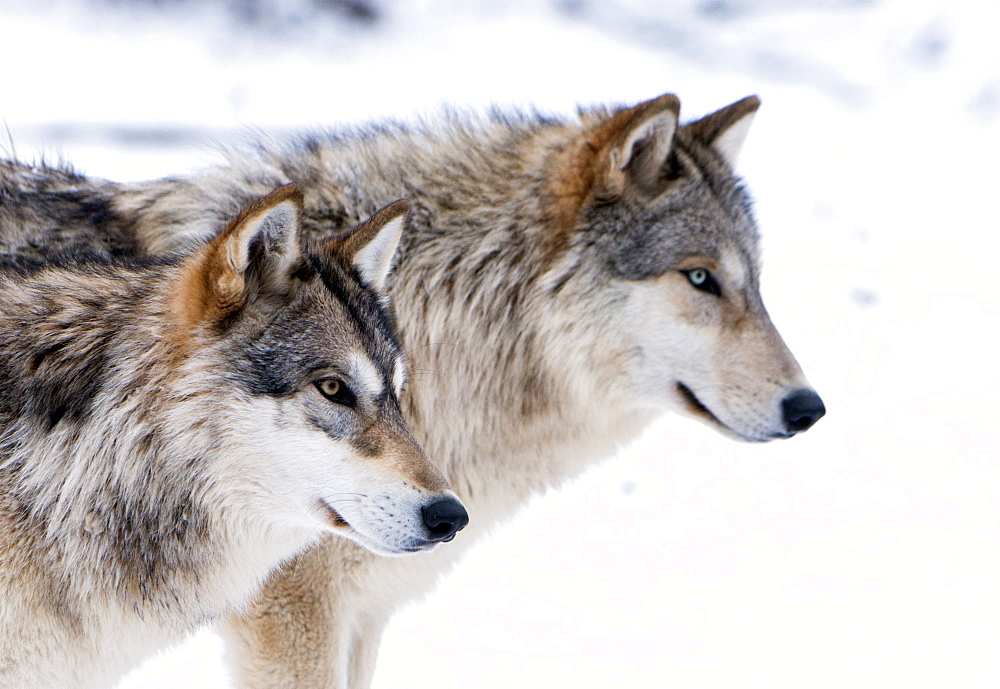 Two sub adult North American Timber wolves (Canis lupus) in snow, Austria, Europe