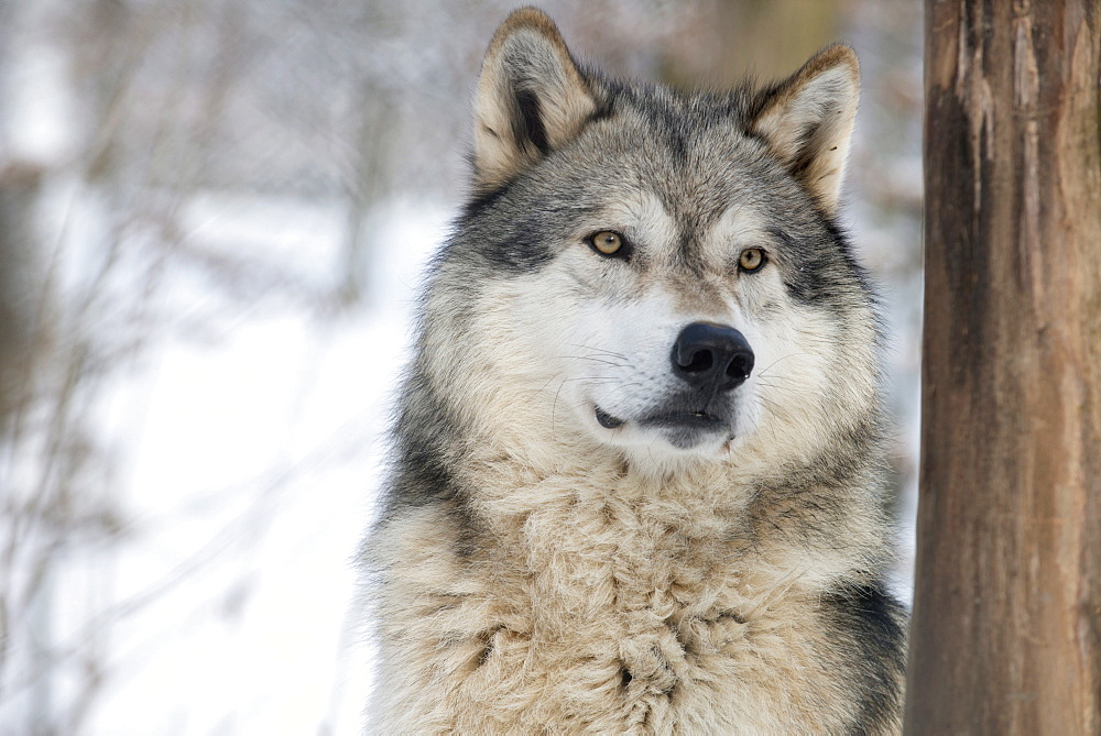 North American timber wolf (Canis lupus) in forest, Wolf Science Centre, Ernstbrunn, Austria, Europe