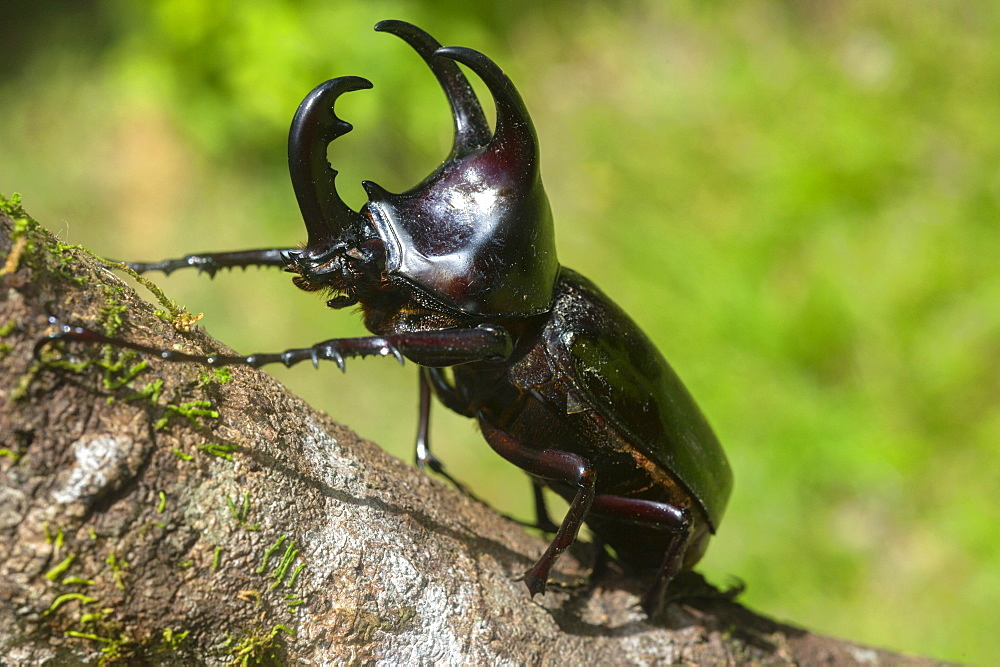 Male Dynastinae (Rhinoceros beetle), one of the largest beetles in the world, Sabah, Borneo, Malaysia, Southeast Asia, Asia