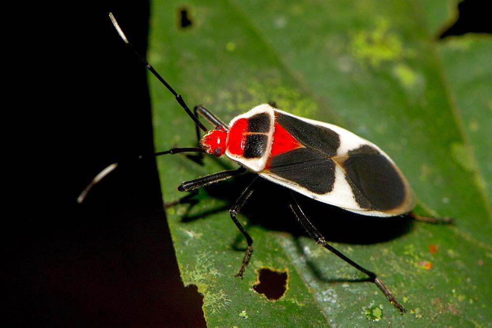 Brilliantly coloured Hemipteran, known as the True bugs, family Lygaeidae, the insect feeds on  plant sap, Maliau Basin, Sabah, Borneo, Malaysia, Southeast Asia, Asia