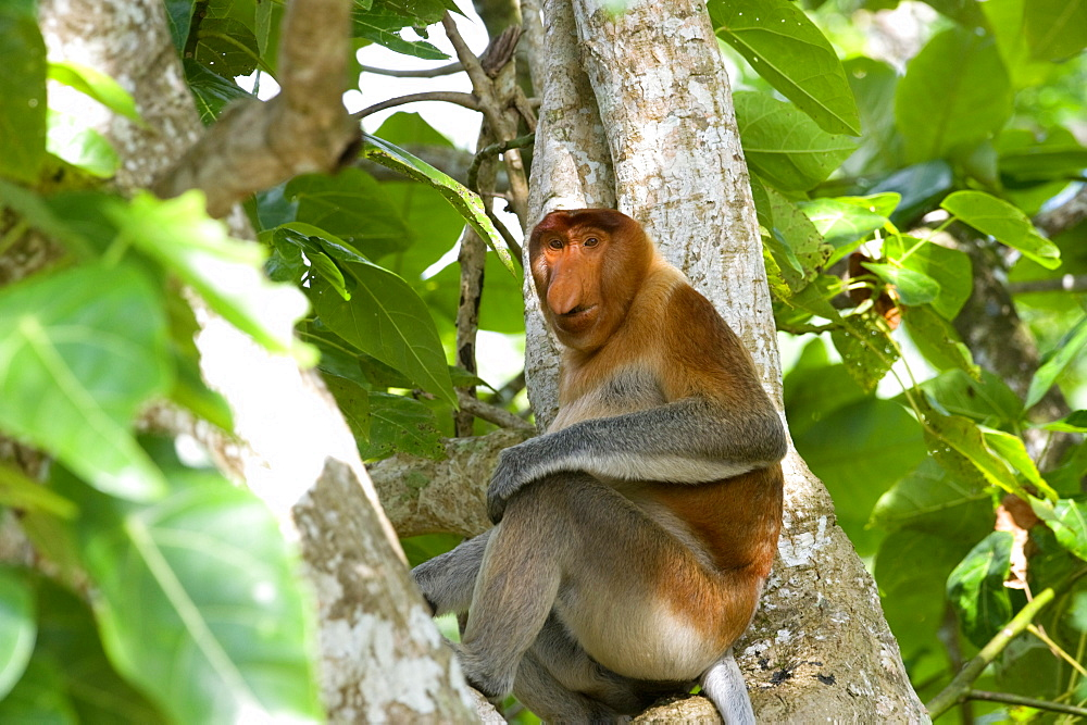 Male proboscis monkey (Narsalis larvatus) is only found on Borneo, Bako National Park, Sarawak, Borneo, Malaysia, Southeast Asia, Asia