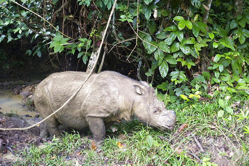 Male Sumatran rhino (Borneo rhino) (Dicerorhinus sumatrensis), Tabin Reserve, Sabah, Borneo, Malaysia, Southeast Asia, Asia
