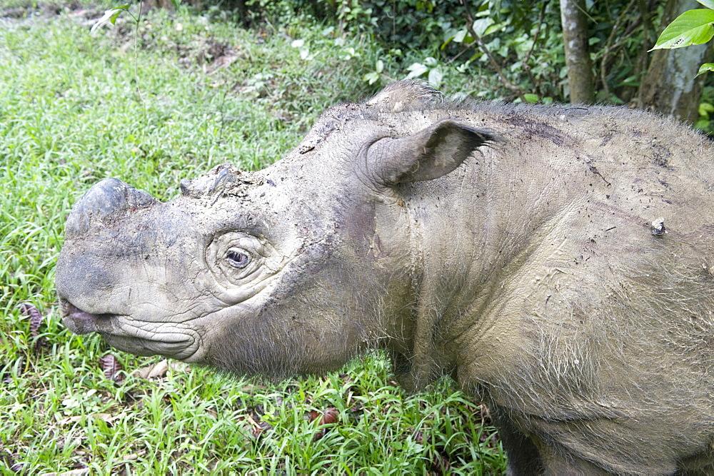 Male Sumatran rhino (Borneo rhino) (Dicerorhinus sumatrensis) in wallow, Tabin Reserve, Sabah, Borneo, Malaysia, Southeast Asia, Asia