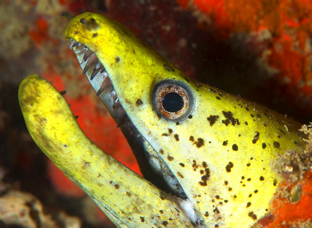 The yellow moray eel (Gymnothorax melatremus) living in an artificial reef under an oil rig near Mabul Island, Celebes Sea, Sabah, Malaysia, Southeast Asia, Asia