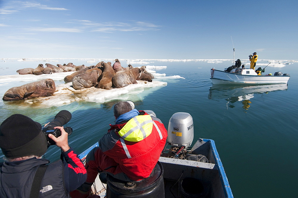 Tourists photographing a group of walrus (Odobenus rosmarus) resting and sunbathing, Arctic Kingdom walrus expedition, Foxe Basin, Nunavut, Canada, North America