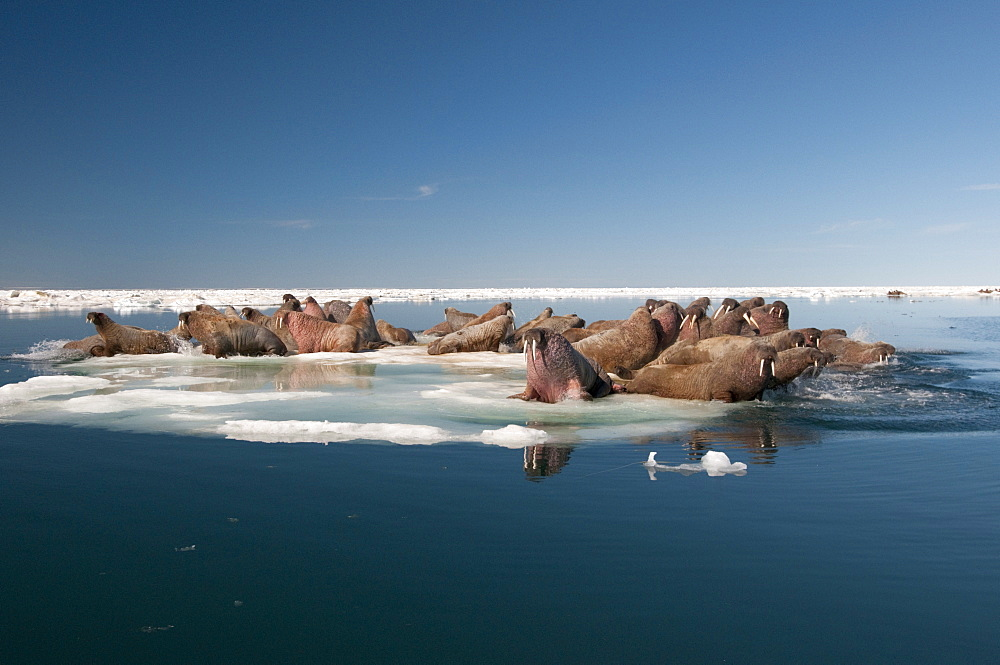 Walrus (Odobenus rosmarus) hauled out on pack ice to rest and sunbathe, Foxe Basin, Nunavut, Canada, North America
