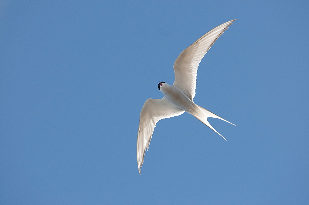 Arctic tern (Sterna paradisaea) in flight, Nunavut, Canada, North America