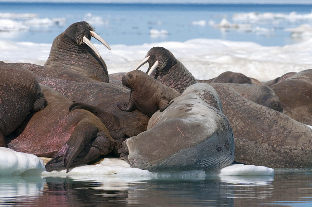 Walrus (Odobenus rosmarinus) females with baby hauled out on pack ice to rest and sunbathe, Foxe Basin, Nunavut, Canada, North America