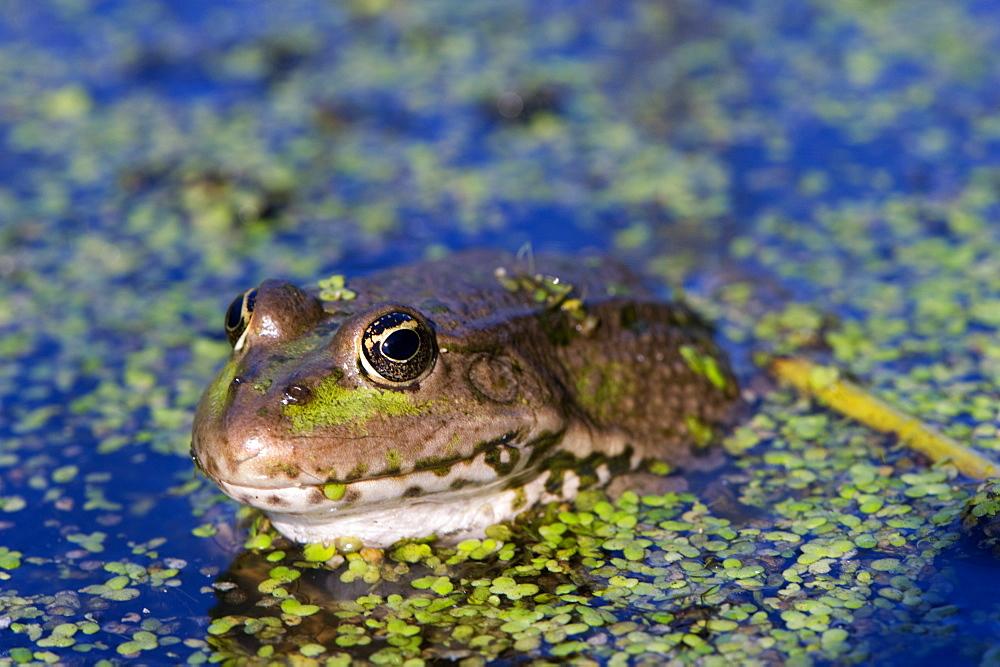 The marsh frog (Pelophylax ridibundu) an escaped garden alien introduced to Kent in 1935, England, United Kingdom, Europe