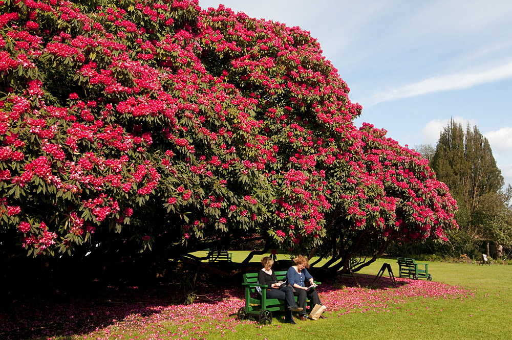 Huge rhododendron tree in flower in spring in The Lost Gardens of Heligan near Mevagissey, Cornwall, England, United Kingdom, Europe