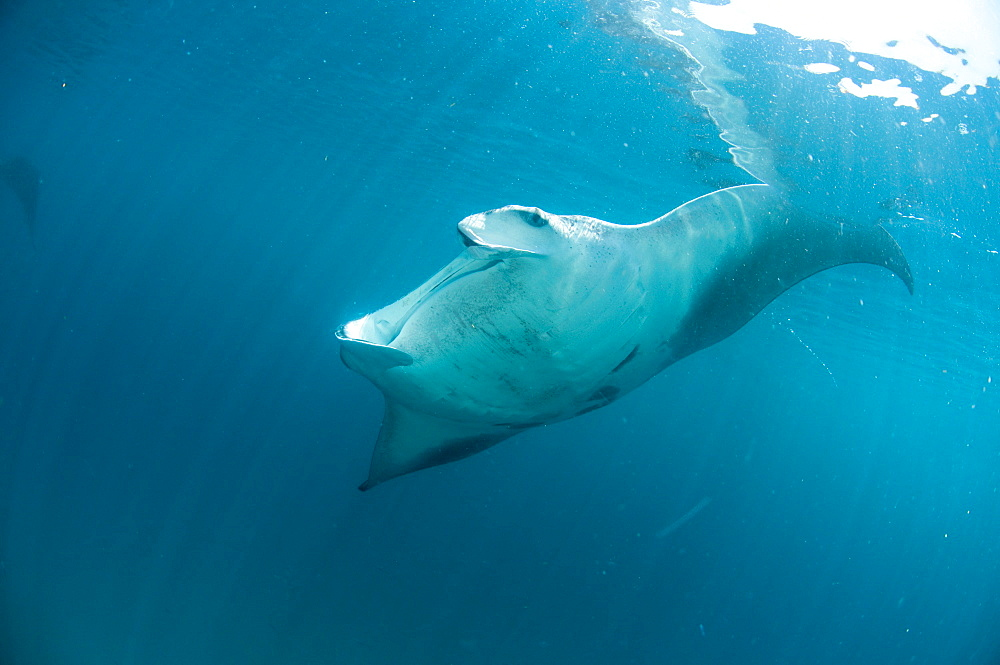 Manta ray (Manta birostris) feeding on zooplankton by extending its cephalic lobes, Yum Balam Marine Protected Area, Quintana Roo, Mexico, North America